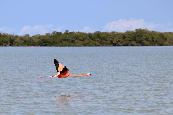Flamingo in full flight