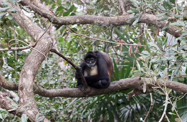 Spider Monkey which we later saw in Tikal