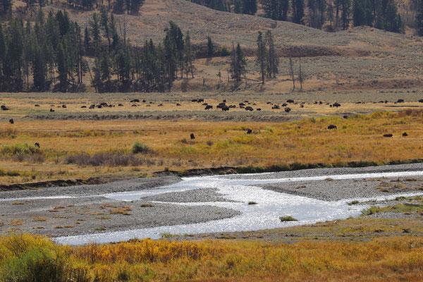 Bison Herde im Lamar Valley