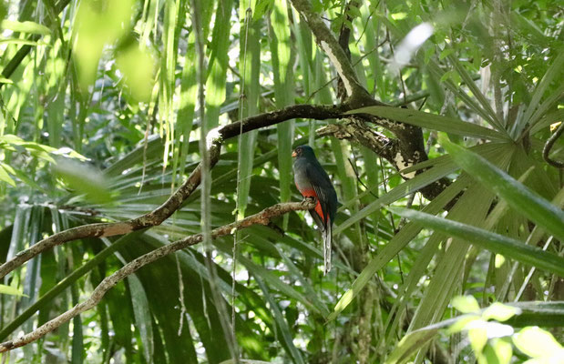 Jose Luis was very observant especially when he heard animals in the jungle - once he grabbed our camera and ran in to the jungle - we both looked at each other - after a few minutes he came back and showed us a picture of the famous Quetzal Bird