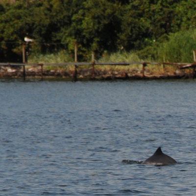 Schweinswal oder dänisch: Marsvin