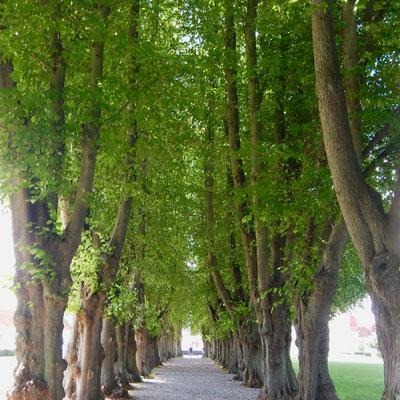 Buchenallee im Schlosspark