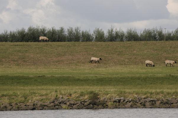 Schafe am Stördeich