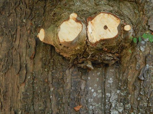 verholzte Eulenaugen