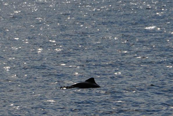 Schweinswal vor Skjoldnaes- der gleiche wie oben