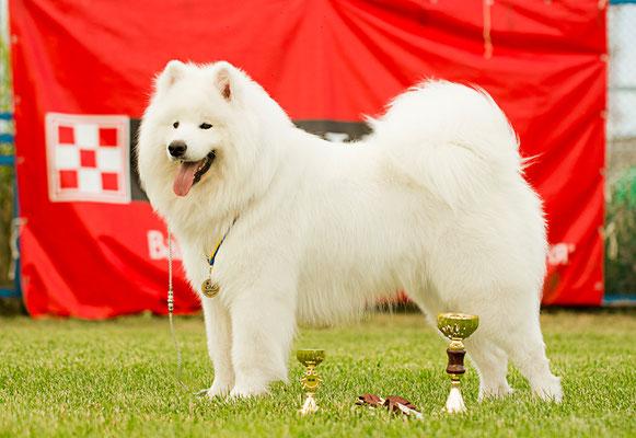 самоед Буян после выставки собак