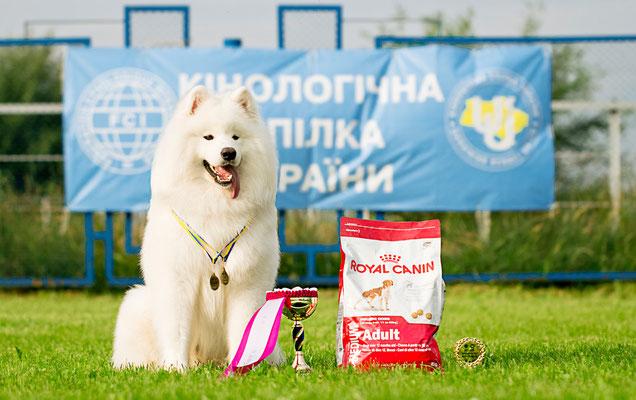 самоед Буян с призами после победы на выставке собак