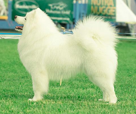 выставочная стойка у самоедской собаки