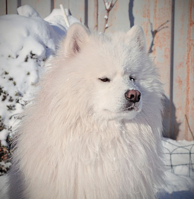 самоед Леон зима 2014