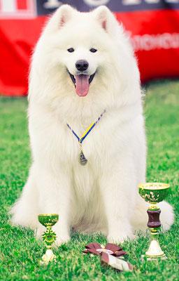 самоед Уян Счастливый Белый Пес