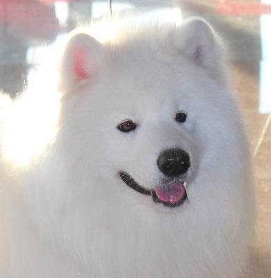 портрет самоедской собаки