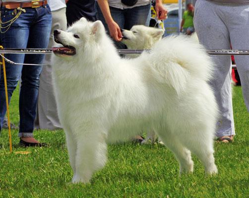 самоед на выставке собак