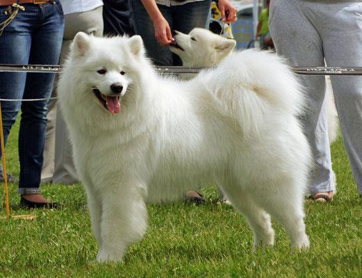 самоедская собака на выставке