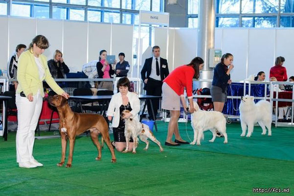 сравнение собак на выставке