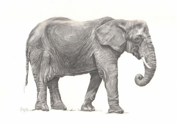 Elefant / Bleistiftzeichnung / Bildgröße ca. 30x40