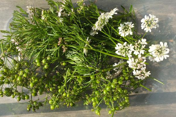 koriandergrün und -blüten