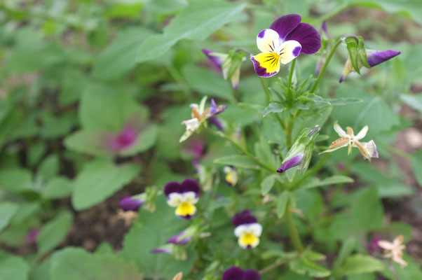 viola tricoloris