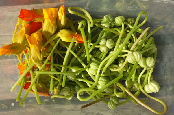 kapuzinerkresseknospen und -früchte