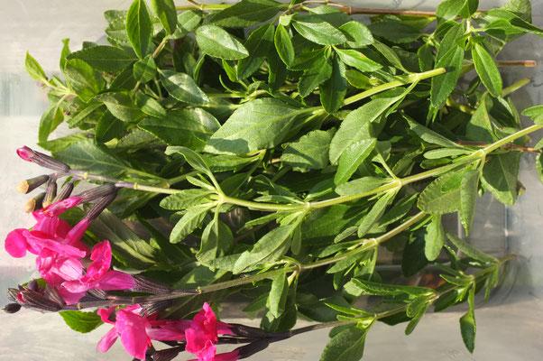 cassis-salbei mit blüten