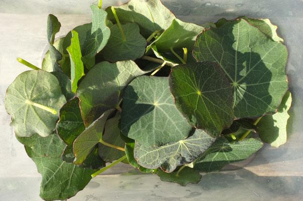 kapuzinerkresseblätter