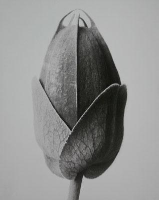 Karl Blossfeldt, Passiflora. Passionsblume. Knospe in 10-facher Vergrößerung. 30 x 24 cm / Limitierter Kunstdruck Nr. 21/150 Photografische Sammlung/SK Stiftung Kultur Köln