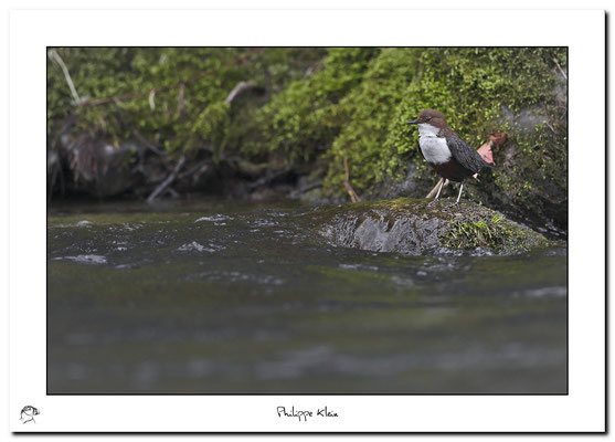 Cincle plongeur Cinclus cinclus - White-throated Dipper