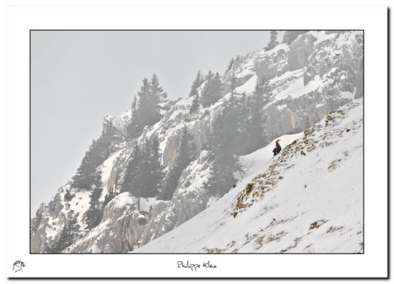 Bouquetin des Alpes  Capra ibex