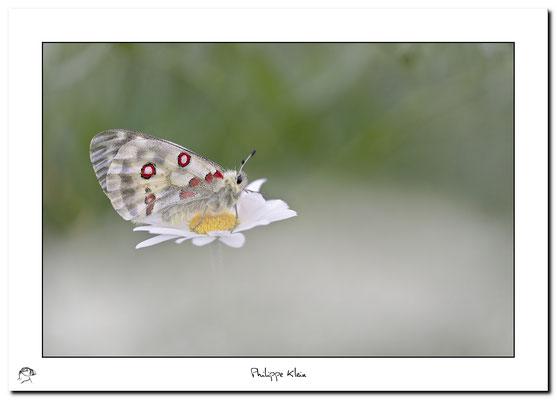 APOLLON (Parnassius apollo)