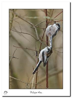 Mésange à longue queue Aegithalos caudatus - Long-tailed Tit