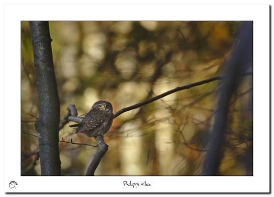 Chevêchette d'Europe Glaucidium passerinum - Eurasian Pygmy Owl