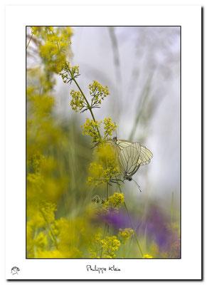 Gazé ou la Piéride de l'aubépine, Aporia crataegi