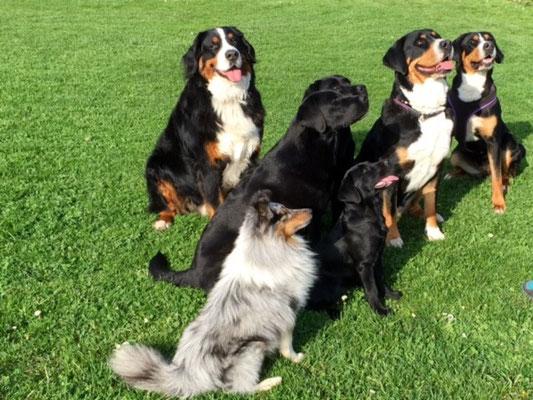Sheltie Big Ben, Berner Sennenhund Fanouk,