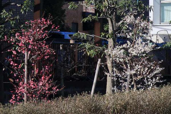 暖冬でノテの庭の梅は満開です。
