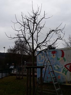Obstbaumschnitt - Baum an der Schule