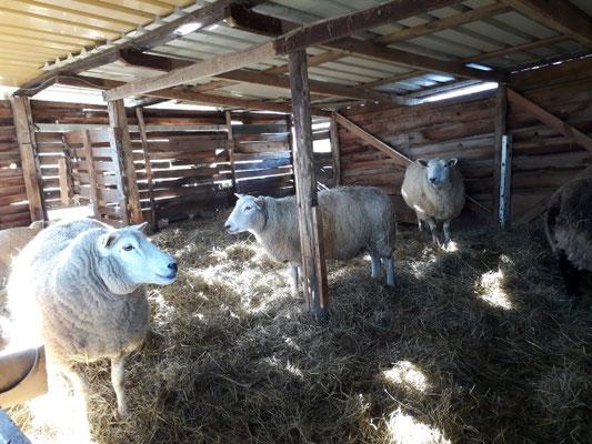 erster Wiesentag - Besuch im Schafstall
