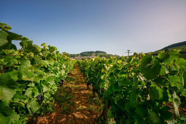 De wijngaard van Le Corton in Bourgogne