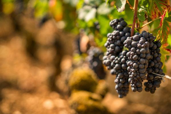 Pinot Noir druiven in de Bourgogne