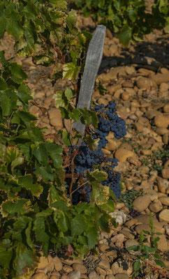 Grenache wijnstokken in de Rhône
