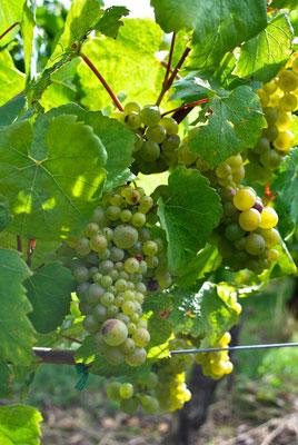 Chardonnay druiven aan de plant in de Bourgogne