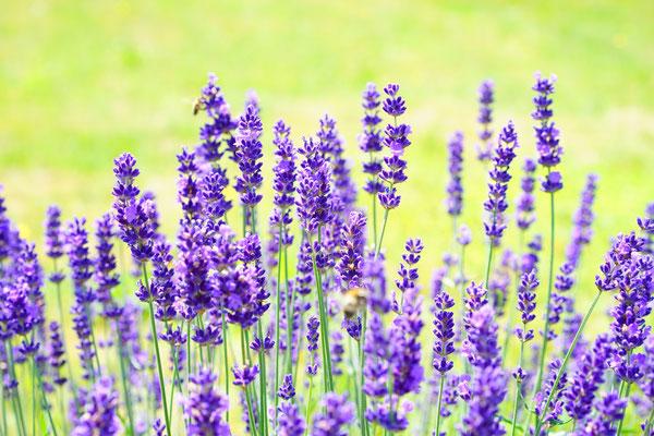 entspannender Lavendel