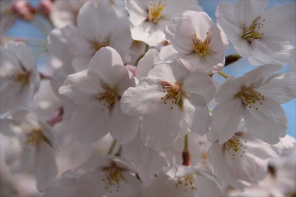 今日の天気で桜も5分から7分咲き。