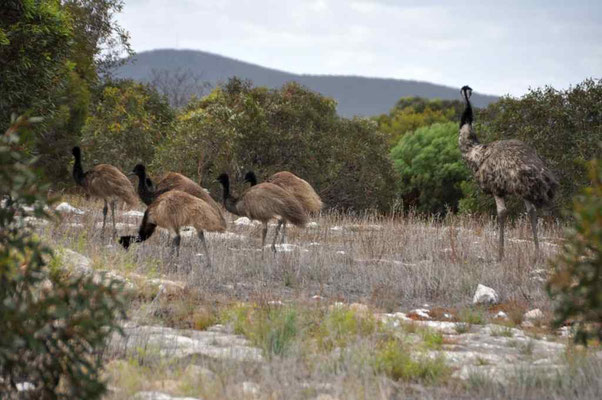 Gruppe Emus