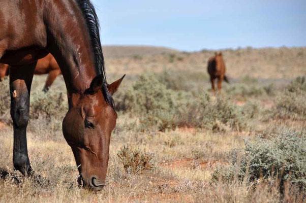 Pferde in Silverton