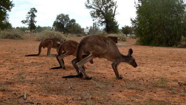 ... und noch mehr Kängurus