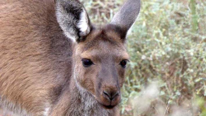 Schöne Augen hast du Känguru