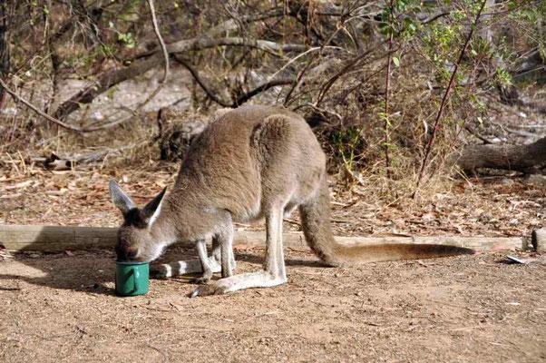 Känguru trinkt aus Florian's Tasse