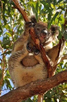 Wild lebender Koala