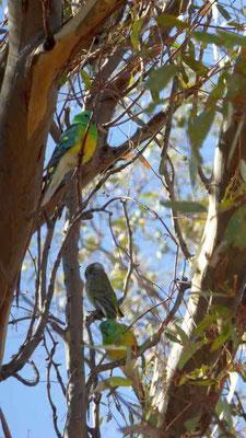 Schöne Papageien