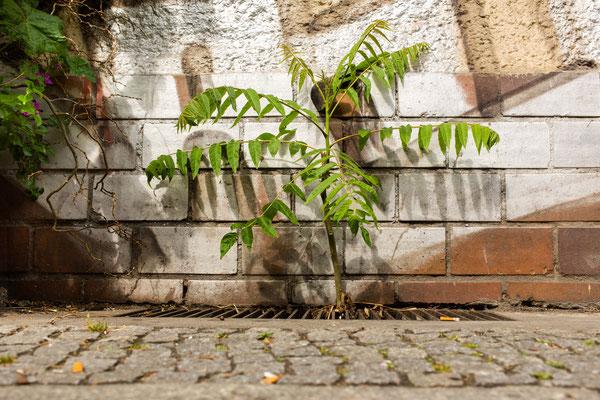Götterbaum in irgendeiner Seitenstraße von der Boxhagener
