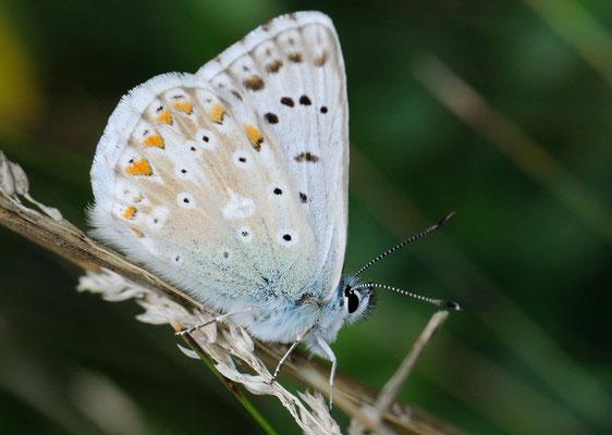 106 Silbergrüner Bläuling (Lysandra Cordion)